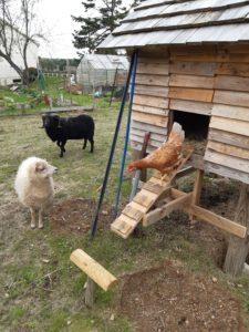Poulailler poule